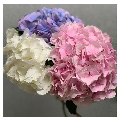 HOLLAND HYDRANGEA PINK OR BLUE OR WHITE 2 STEMS
